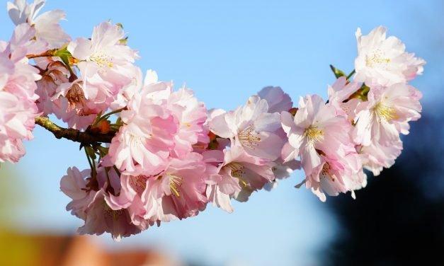 Bloemen in de wintertuin: Prunus x subhirtella (Japanse sierkers)