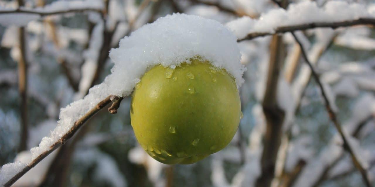 Wintersnoei bij fruitbomen