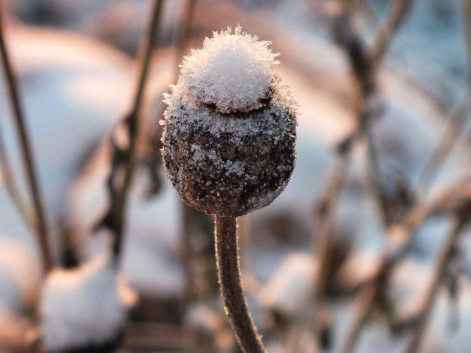 sneeuw planten