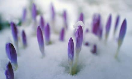 Sneeuw in de tuin, slecht voor mijn planten?