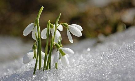 Bloemen in de winter: Galanthus (Sneeuwklokje)
