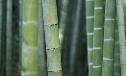 Welke Bamboe is geschikt voor in de tuin?