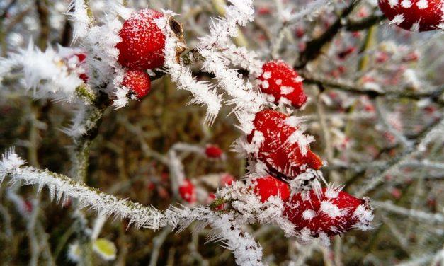 Struiken verplanten in de winter