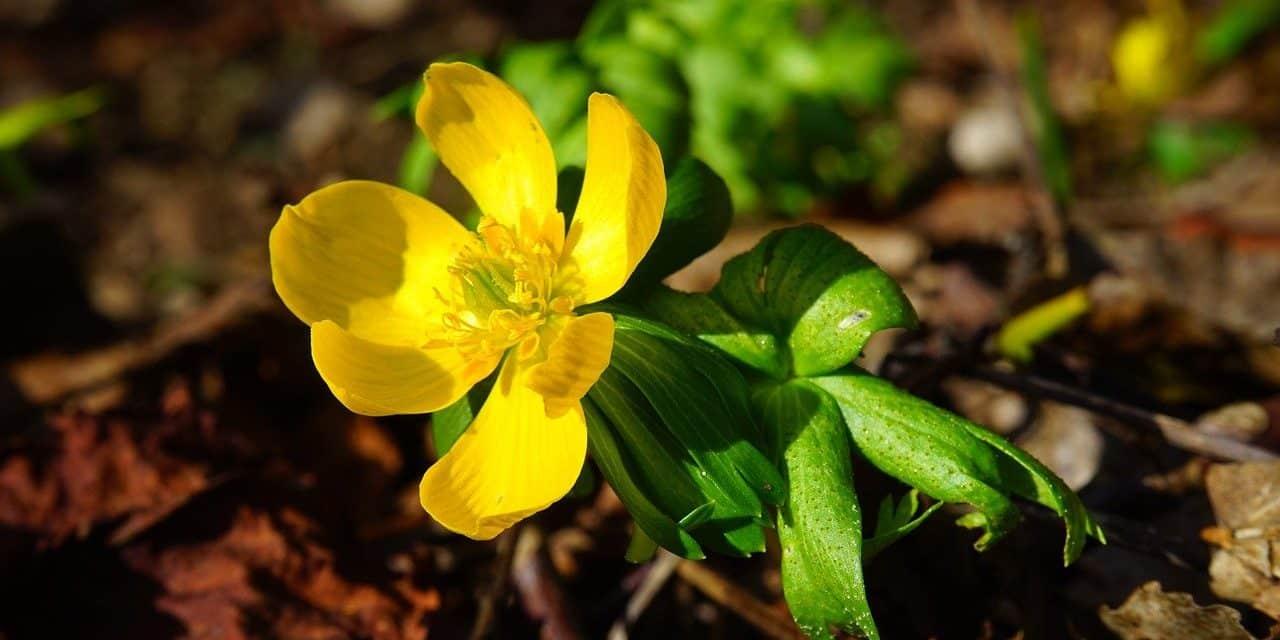 Bloemen in de winter: Eranthis hyemalis