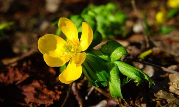 Bloemen in de winter: Eranthis hyemalis