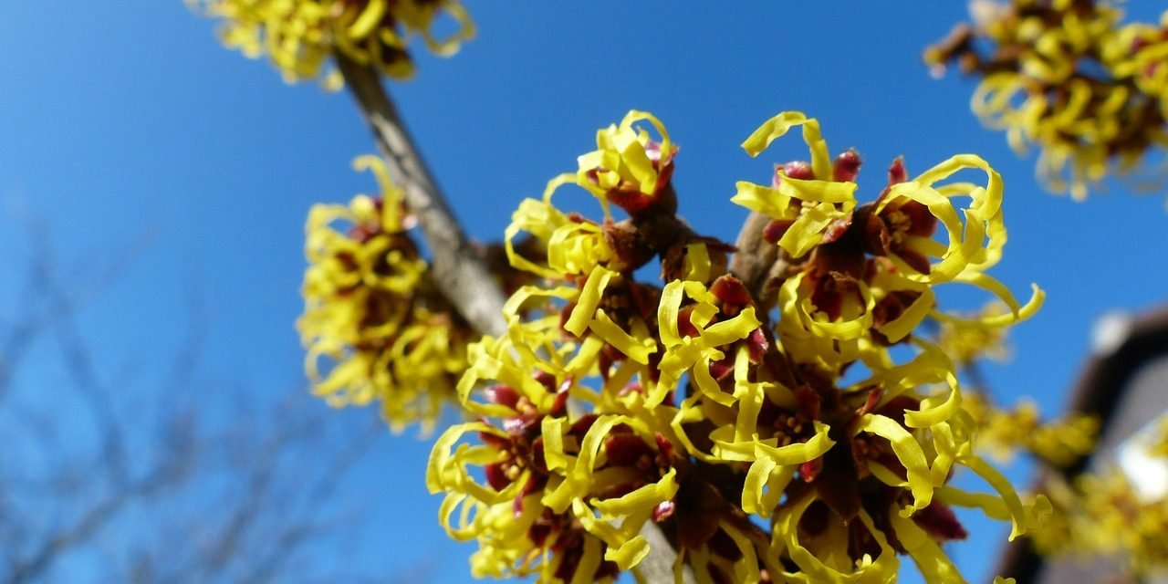 Bloemen in de winter: Hamamelis