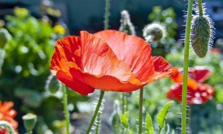 Tuinieren op kleur: (donker)rood