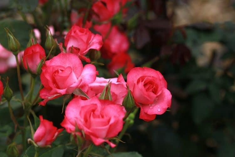 tuinen kleur rood3