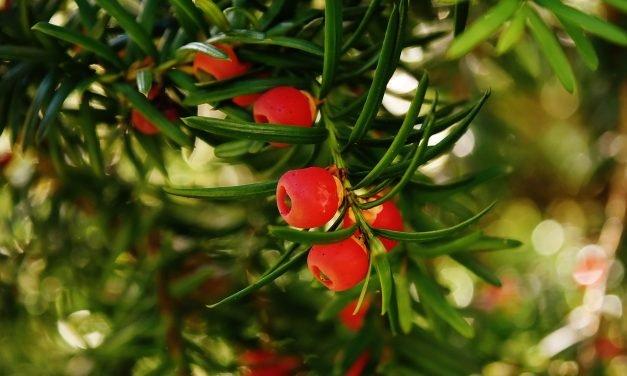 Een Taxus planten en verzorgen