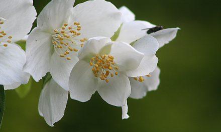 Boeren jasmijn – Philadelphus coronarius