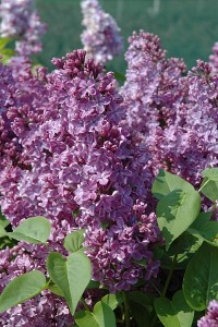 Gewone sering - Syringa vulgaris