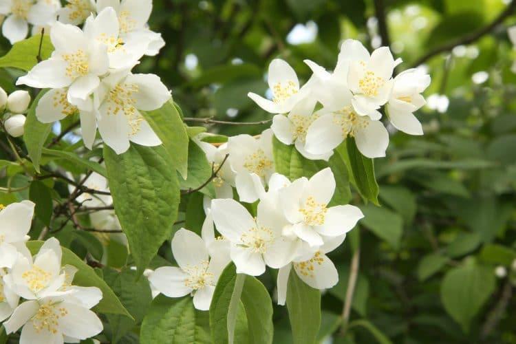 Boeren jasmijn
