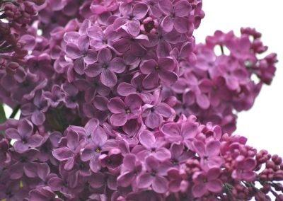 lilacs-1287880_1280
