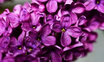 Gewone sering – Syringa vulgaris