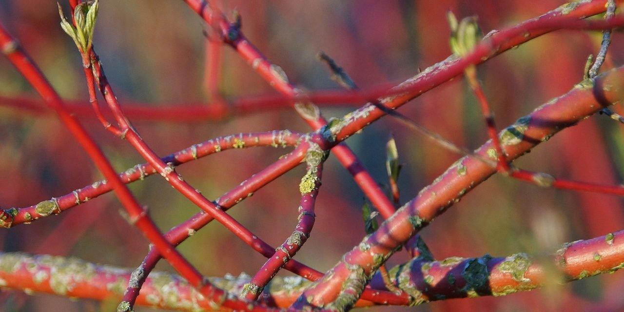 Rode kornoelje – Cornus sanguinea