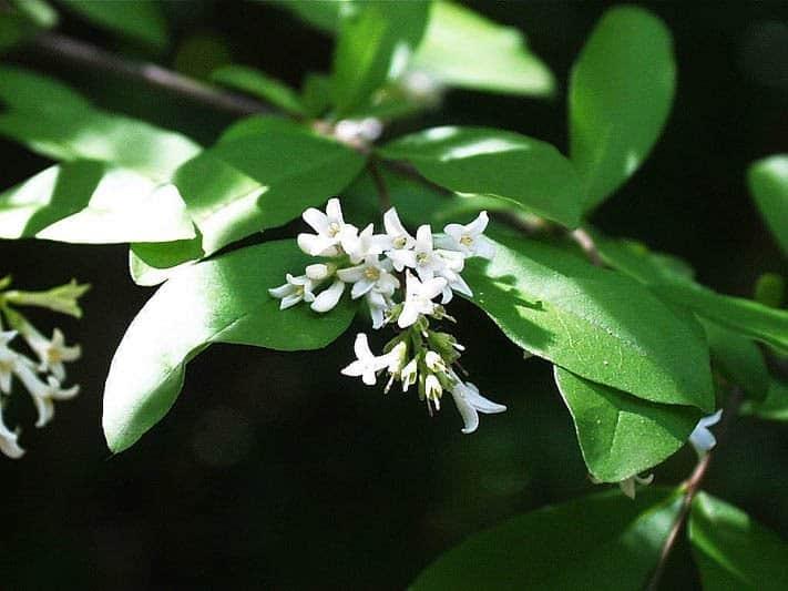 Wilde liguster – Ligustrum vulgare