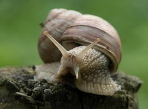 Slakken bestrijden lukt alleen met een gefaseerde aanpak