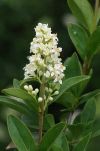 Wilde liguster - Ligustrum vulgare