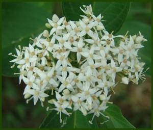 Witte kornoelje - Cornus alba