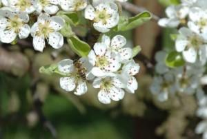bloesem perenboom