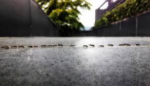 Mieren nemen altijd dezelfde route. Bron: omroepwest.nl