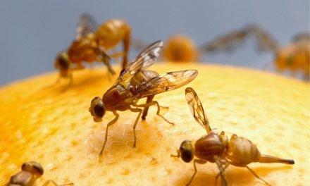 10 tips om fruitvliegjes te bestrijden