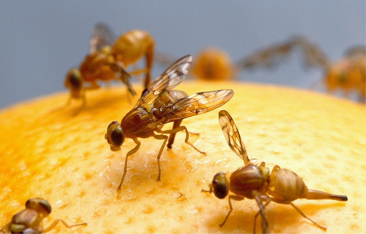 Fruitvliegjes Bestrijden Lees 16 Tips Om Fruitvliegjes Te Bestrijden