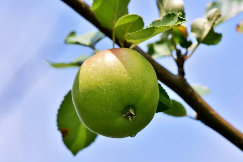 Appelboom snoeien, hoe doe je dat?