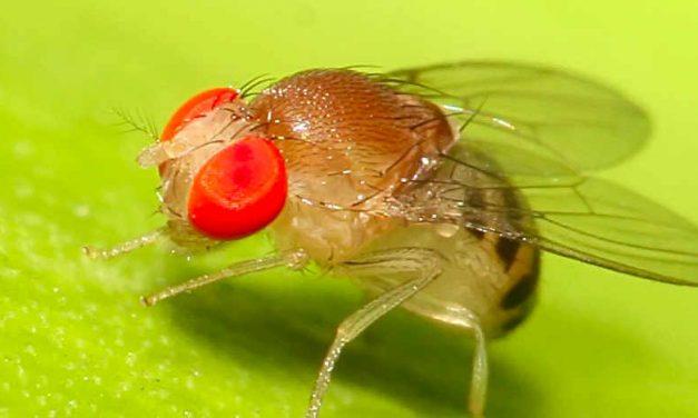 Biologisch en effectief fruitvliegen bestrijden