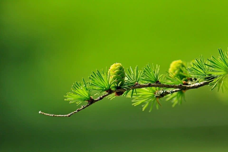 Coniferen, alles wat je moet weten over soorten, snoeien mesten en voeding