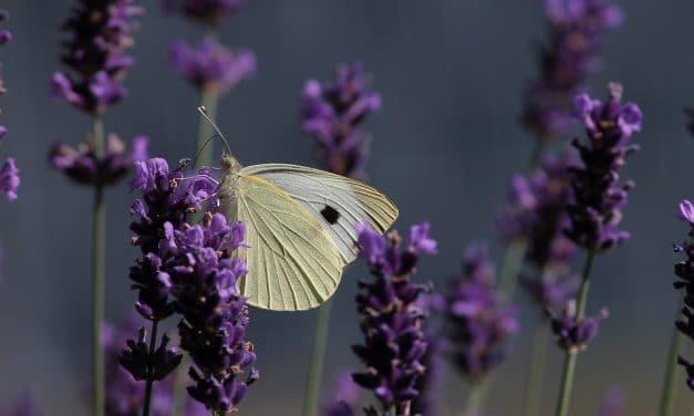 Lavendel snoeien, hoe en wanneer?
