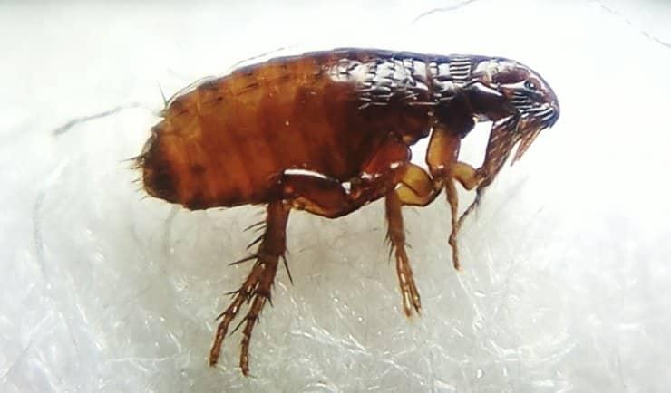 Vlooien - Siphonaptera