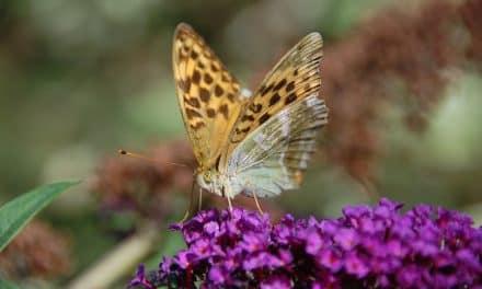 Hoe en wanneer moet je een vlinderstruik snoeien?