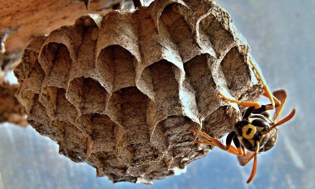 Een wespennest (zelf) verwijderen, hoe doe je dat?