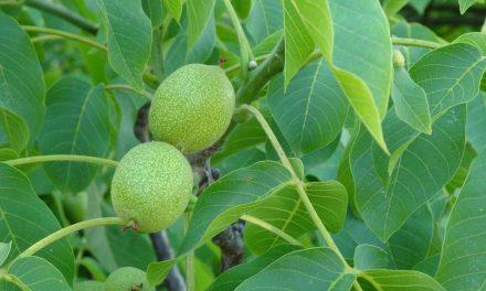 Een walnotenboom snoeien, wanneer en hoe doe je dat?