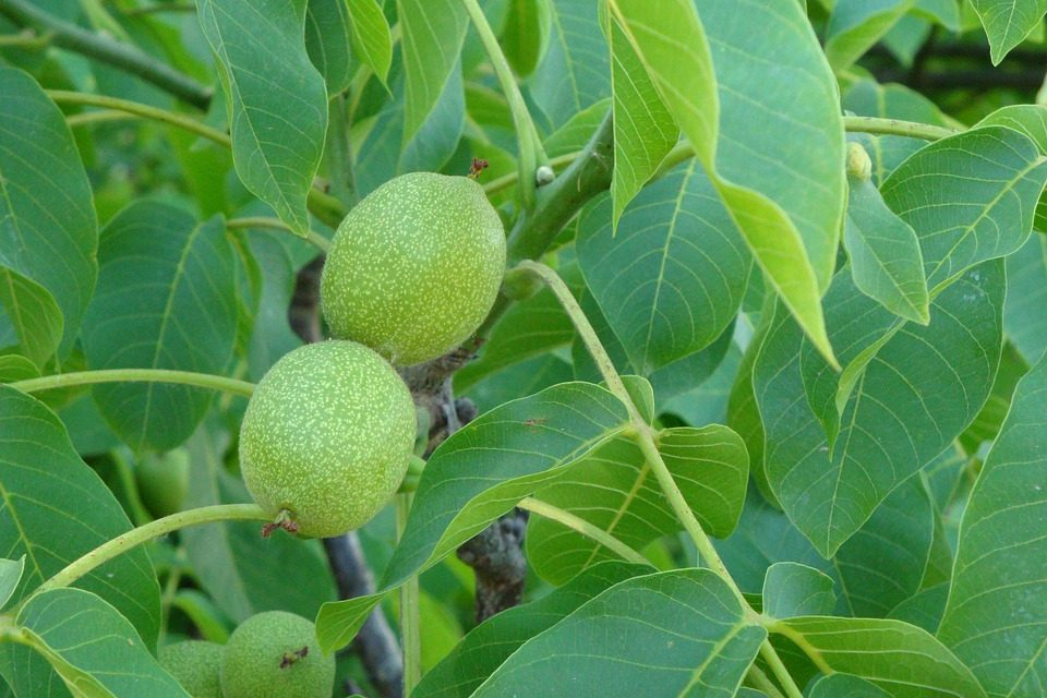 Een walnotenboom snoeien, wanneer en hoe een walnoot snoeien?