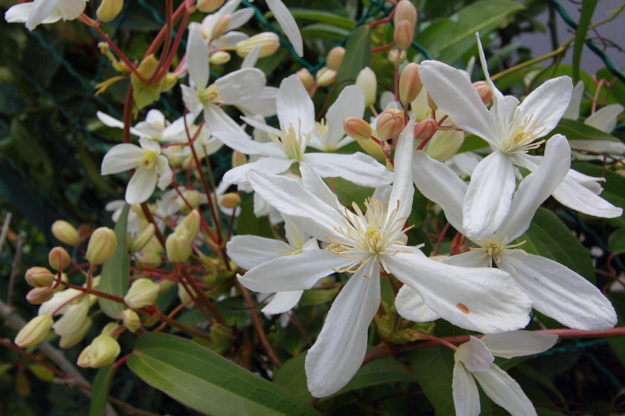 Groenblijvende klimplanten: clematis armandii / Bosrank