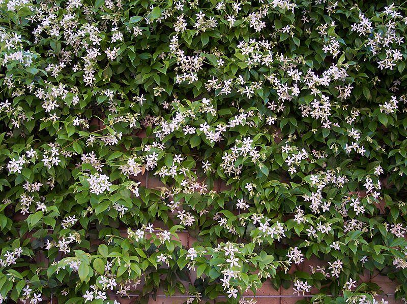 Groenblijvende klimplanten: Toscaanse jasmijn
