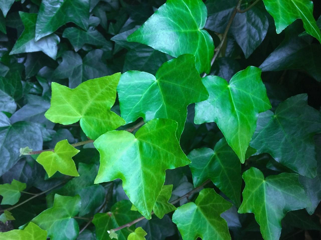 Groenblijvende klimplanten: klimop - Hedera Helix