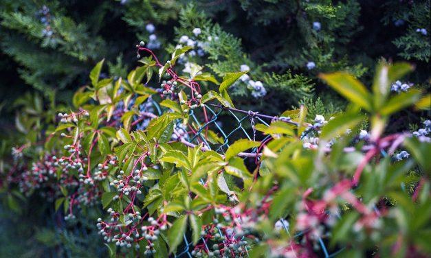 4 groenblijvende klimplanten voor in de tuin