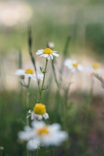 bloem wit
