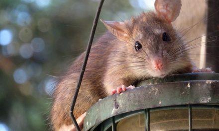 Ratten bestrijden, hoe voorkom en bestrijd je een rattenplaag?