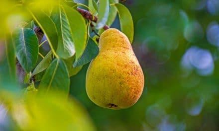 Hoe en wanneer een perenboom snoeien?