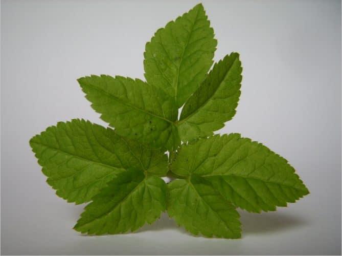 zevenblad Aegopodium podagraria