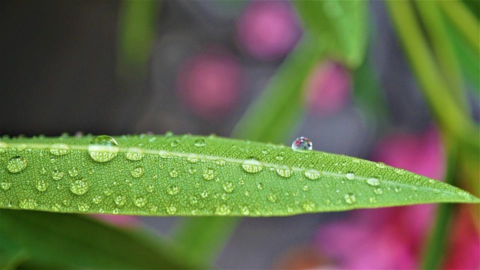 Hoe en wanneer oleander snoeien?