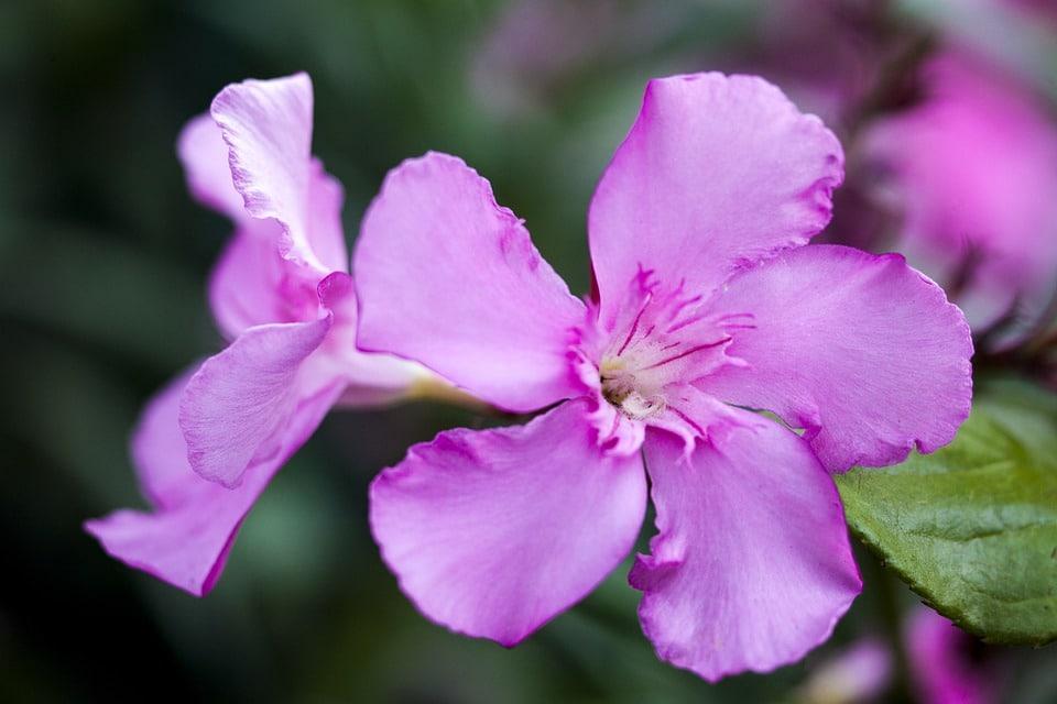 oleander bloem